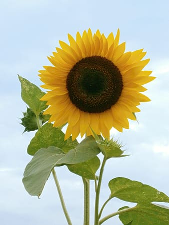 Sunflower, Summer Flowers