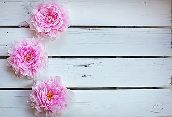 Three pink petaled flowers