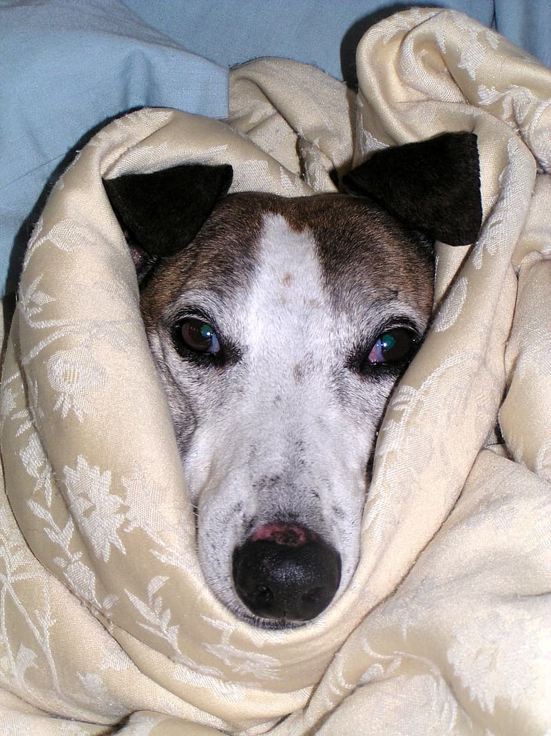 Greyhound covered with blanket