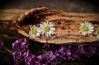 Shallow focus photography of three white daisy flowers on brown wooden log