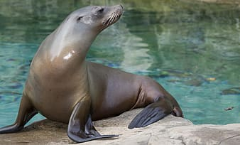 Close up photo of a sea lion standing on brown stone near water