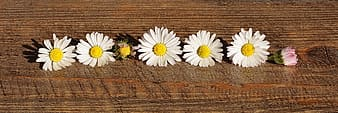 Five common daisy flowers on wooden panel