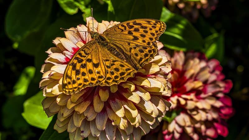 Closeup photo of gulf fritillary butterfly perched on yellow cluster flower at daytime