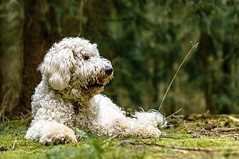 Adult white havanese lying on the field