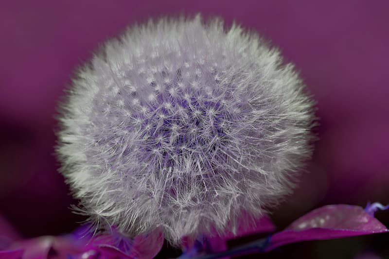 White dandelion flower in close up photography