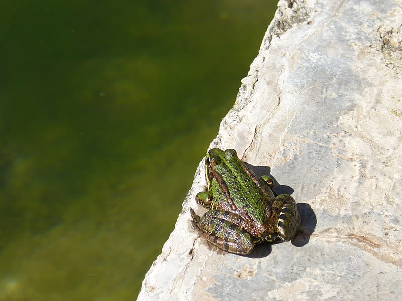 Green frog on gray rock