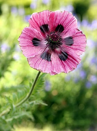 Closeup photography of pink poppy flower