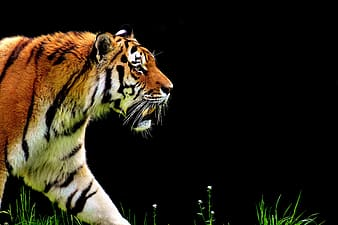 Orange, white, and black tiger