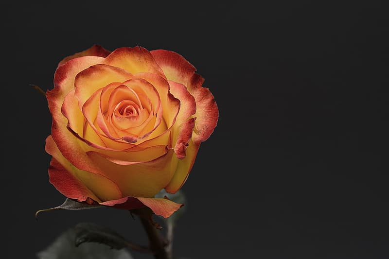 Orange rose flower in close up photography
