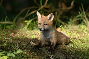 Orange fox kitten on green grass