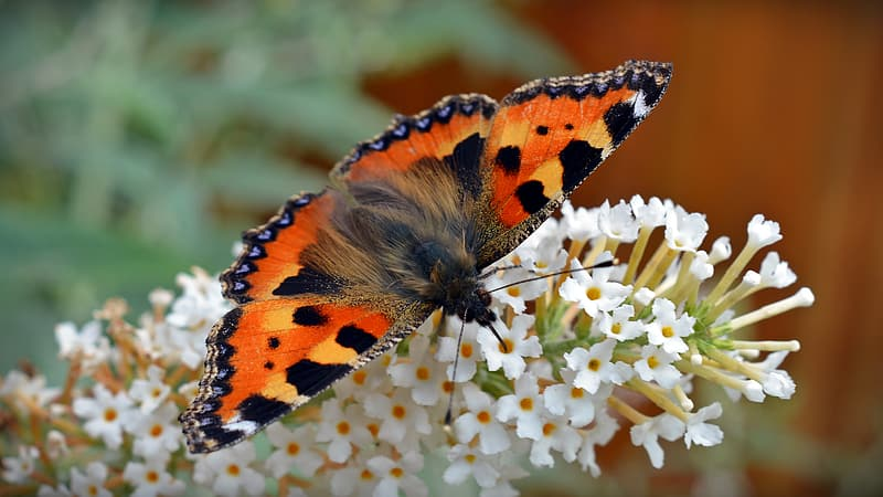 Orange and black butterfly perch on white cluster flower