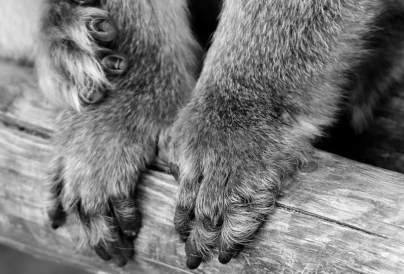 Grayscale photo of animal paw on wooden surface