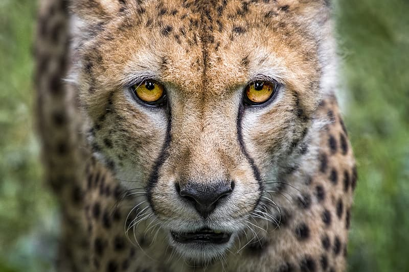 Selective focus of cheetah