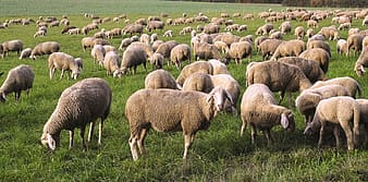 Herd of sheep on grass field during daytime