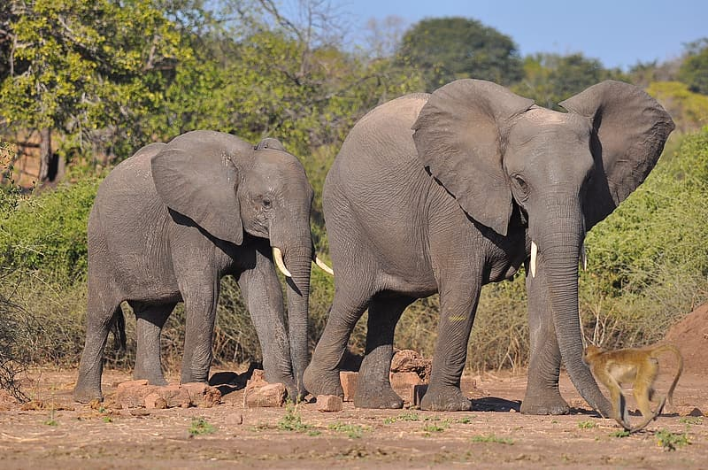 Two gray elephants near green trees