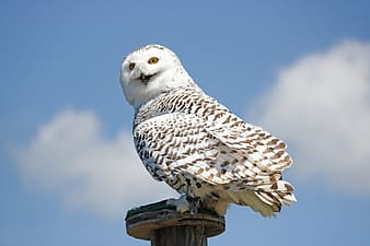 White owl perched on wooden pedestal
