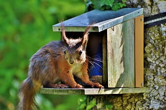 Brown squirrel on blue wooden cage