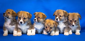 White and brown short coated puppy on blue textile