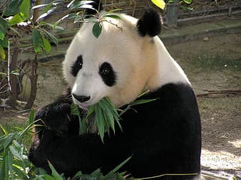 Panda eating leaf