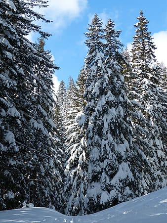 Pine tree covered snow at daytime