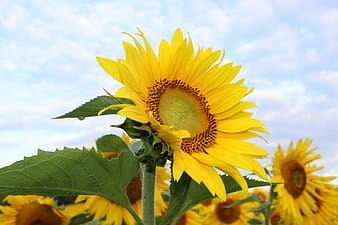 Shallow focus photography of yellow sunflowers