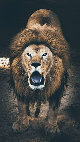 Lion with open mouth on brown soil
