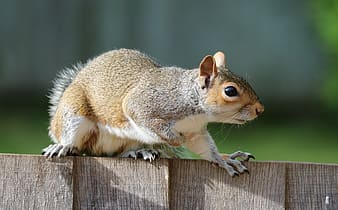 Brown squirrel on wooden fence during daytime