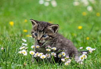 Gray tabby kitten on top of green grass lawn