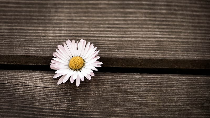 White daisy on brown wooden surface