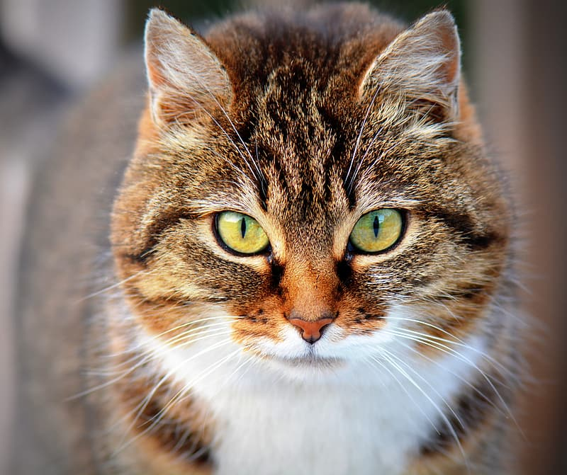 Portrait photography of brown tabby cat