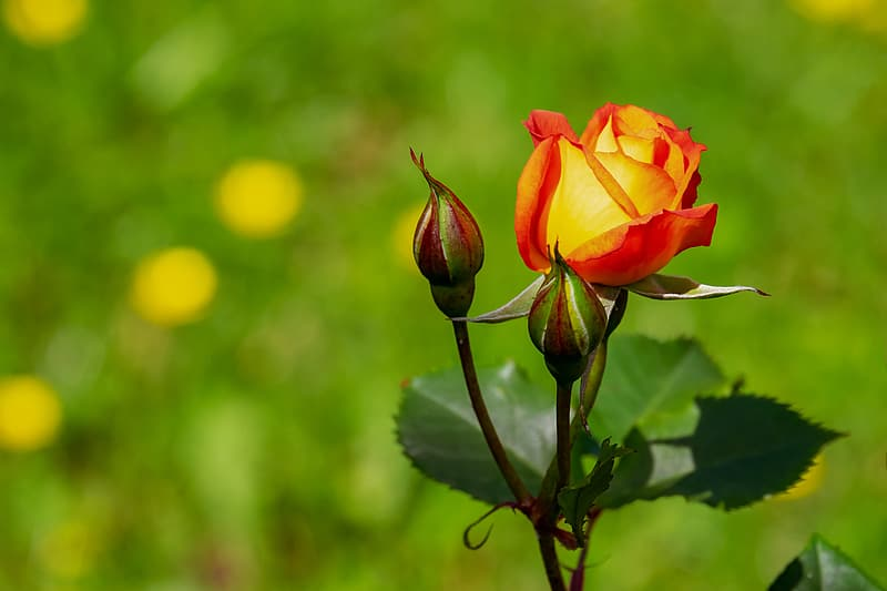 Macro photography of yellow and red rose