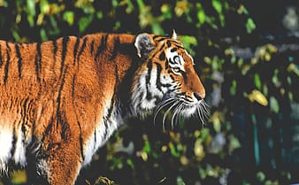 Brown and white tiger in close up photography