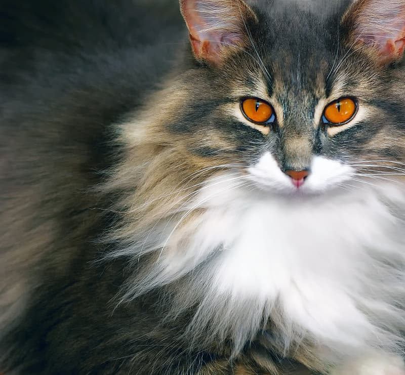 Brown, gray, and white fur cat