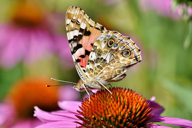 Brown and black butterfly perched on purple flower in close up photography during daytime