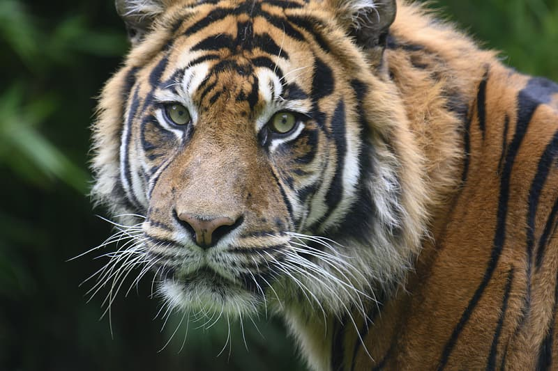 Brown white and black tiger