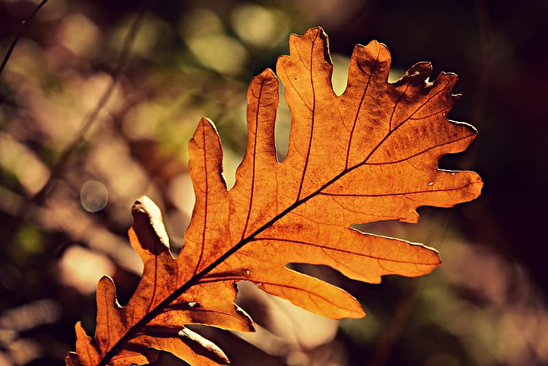 Brown and yellow maple leaf