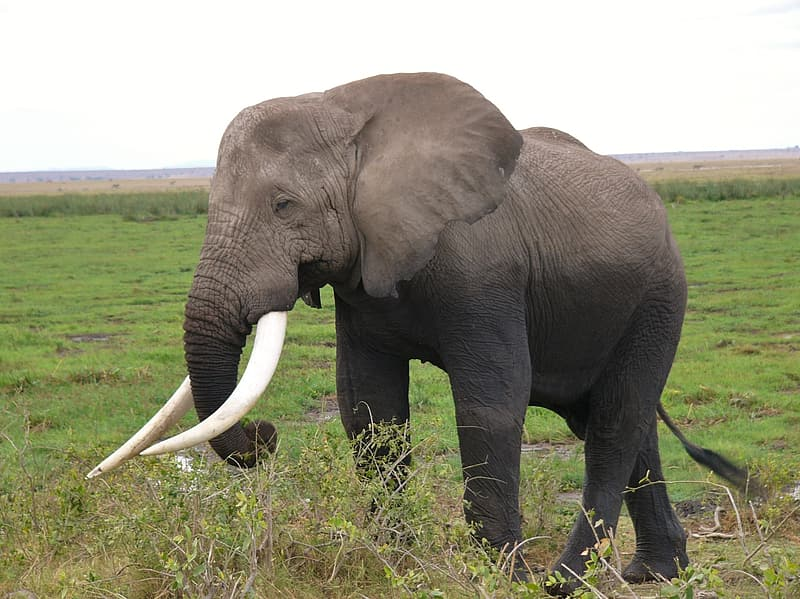 Elephant walking on green grass