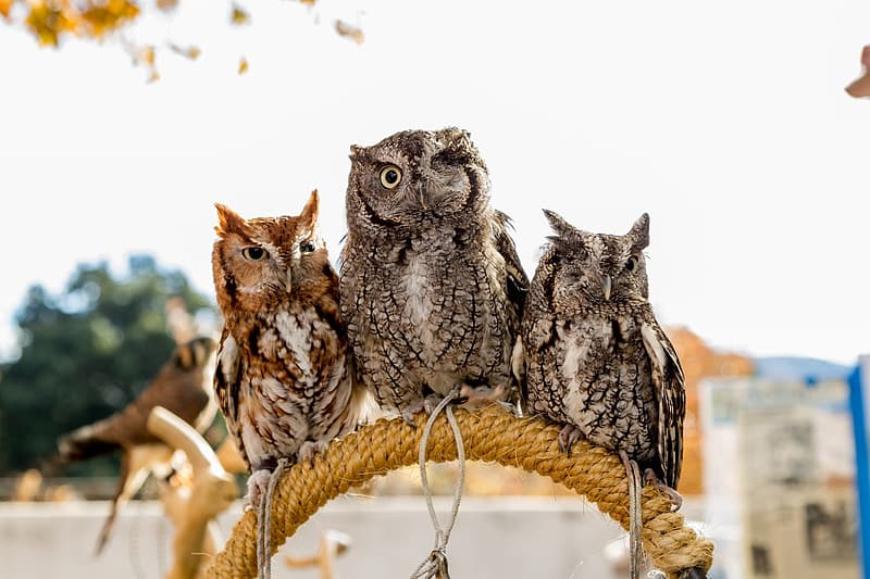 Three owls perch at the rope during daytime