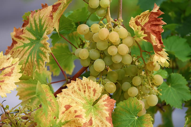 Green grapes on brown stem