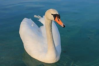 White swan floating on calm water at daytime