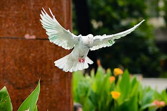 Flying white pigeon