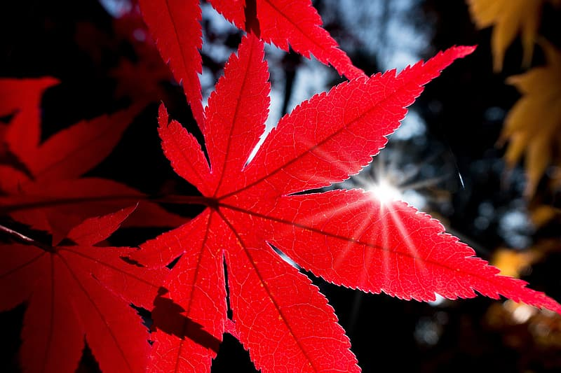 Red maple leaf during daytime