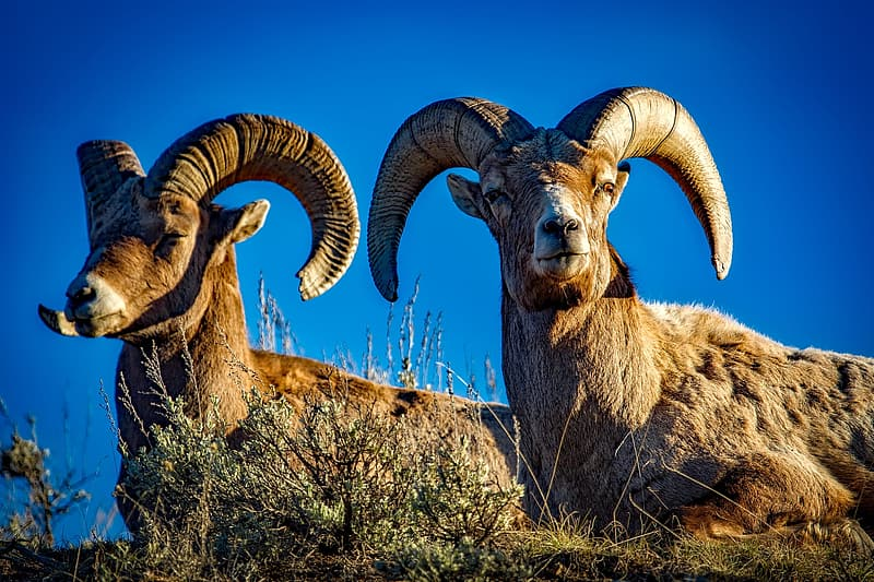 Two brown ram sitting on grass field under blue sky during daytime