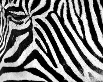 Zebra hide in close-up photography