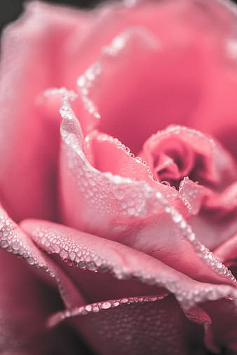 Shallow focus photography pink rose