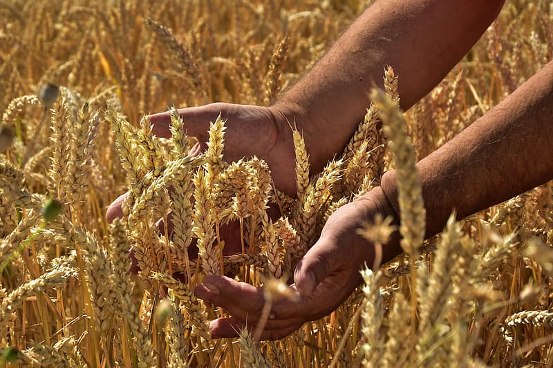 Person holding brown wheat during daytime