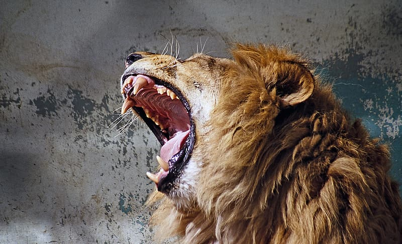 Wildlife photography of lion howling