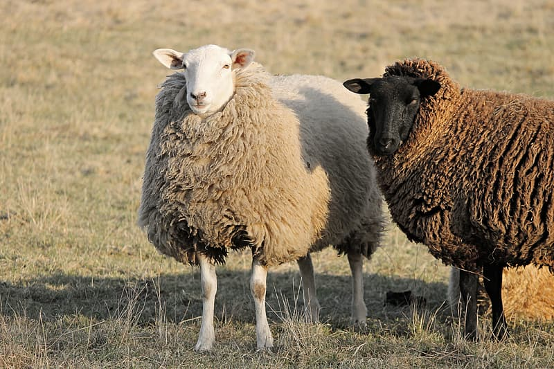 Brown sheep on green grass field during daytime