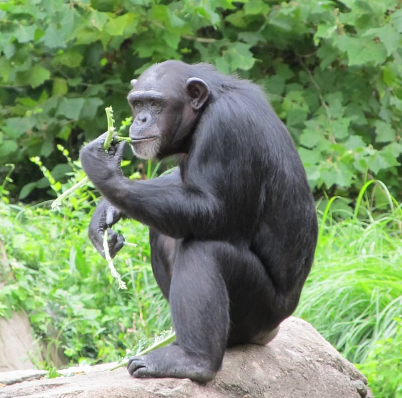 Black gorilla eating leafs on outdoors