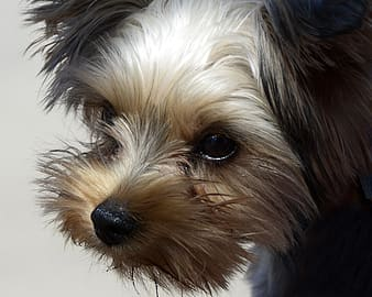 Brown and black yorkshire terrier